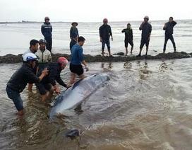 Cá voi dài 5m nặng 3 tấn trôi dạt vào bờ biển