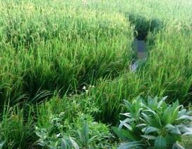 Vướng bẫy chuột trên ruộng lúa, 1 người chết thảm