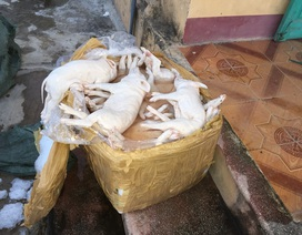 Bắt vụ vận chuyển hơn 1 tấn thịt lợn sữa đã bốc mùi