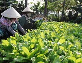 Giá rau cao kỷ lục, nông dân thu lãi tiền triệu