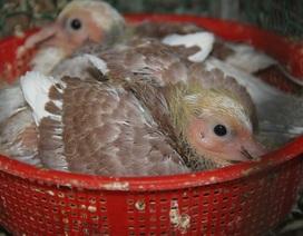 Bí kíp nuôi chim bồ câu Pháp cho thu nhập cao