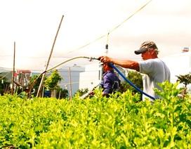 Bình Định: Thấp thỏm mùa hoa cúc Tết