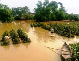 Bình Định: Chủ vườn mai khóc ròng vì mai chết rũ