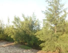 Nữ cựu thanh niên xung phong trồng 200ha rừng trên sa mạc cát