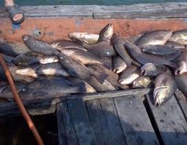 Cá biển chết bất thường trôi dạt vào bờ biển