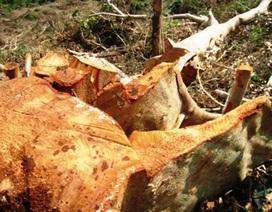 Quảng Bình: Phá rừng di sản để lấy phong lan?