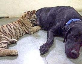 Hổ con bú... chó mẹ