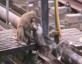 Cảm động clip khỉ cứu bạn bị điện giật