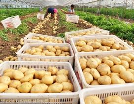Trung Quốc kêu gọi dân ăn nhiều khoai tây hơn để giảm nhập khẩu gạo