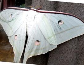 """Phát hiện con bướm """"khổng lồ"""" có màu sắc sặc sỡ"""