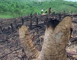 Tiếng kêu cứu từ rừng đầu nguồn hồ Khe Chung