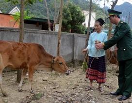 Bộ đội biên phòng tặng bò cho các hộ nghèo