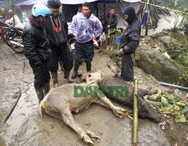 Gần 4.000 con gia súc bị chết trong trận rét kỷ lục ở miền Bắc
