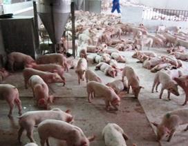 Chất cấm trong chăn nuôi nguy hại đến sức khỏe con người như nào?