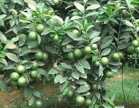 Cây chanh đào cho thu nhập 450 triệu mỗi năm ở Hà Nội