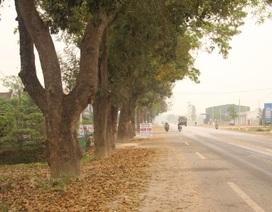 50 cây cổ thụ hơn 50 năm tuổi đã được cứu như thế nào?