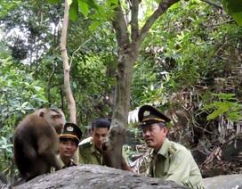 Đã bắt được chú khỉ tấn công du khách trên bán đảo Sơn Trà
