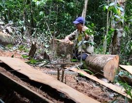 Hai cây gỗ hương quý bị lâm tặc đốn hạ tại VQG Yok Đôn