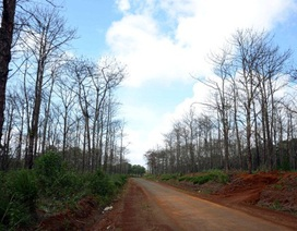 Xâm hại rừng thông để chiếm đất mặt tiền!