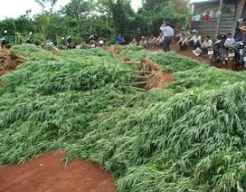 Báo động tình trạng trồng cây cần sa