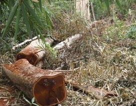 Phát hiện vụ phá rừng lấy hơn 100m3 gỗ