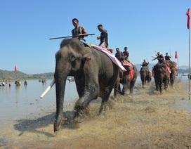 18 con voi sẽ được huy động tham gia Lễ hội đua voi Buôn Đôn