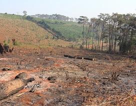 Đắk Nông: Hàng ngàn cây thông bị chặt phá, dân biết hết, chủ tịch thì không!