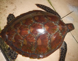 Rùa biển quý lạc vào Huế