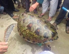 Giải cứu rùa biển 45kg lạc vào đầm phá Huế
