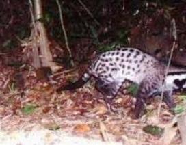 Phát hiện cầy giông sọc được cho là tuyệt chủng ở Việt Nam