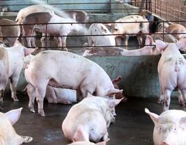 Sử dụng chất cấm trong chăn nuôi: Truy trách nhiệm của thương lái!