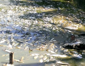"""Nông dân """"mất Tết"""" vì 15 tấn cá chết bất thường"""