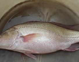 Bắt được cá nghi là cá sủ vàng trên sông Hậu