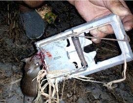 """Sóc Trăng: """"Sống khỏe"""" nhờ săn chuột đồng mùa hạn mặn"""