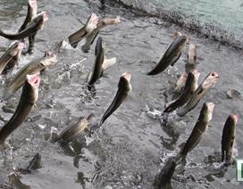 """Cần Thơ: Nông dân """"phất lên"""" nhờ đàn cá lóc biết ... """"bay"""""""