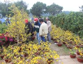 Lâm Đồng: Mai vàng Bến Tre hút hàng, đào… ế ẩm