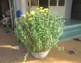 Khan hiếm hoa, nhiều người cắt hoa chưng chậu ra bán Tết