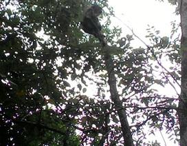 Thả khỉ mặt đỏ quý hiếm về rừng
