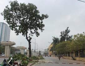 Hà Nội chặt hạ, di chuyển hàng loạt cây xanh trên đường Cầu Giấy