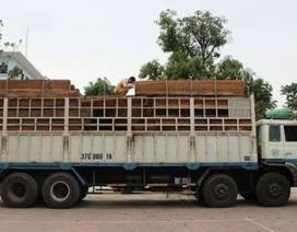 Bắt xe chở gỗ quá tải 300%