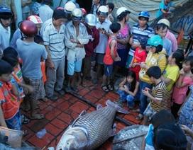 Bắt được cá hô vàng nặng 130kg