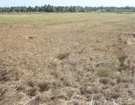Ruộng đồng nứt nẻ, lúa cháy khô vì hạn, mặn