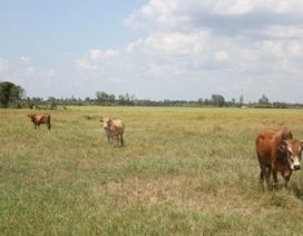 Lúa chết khô, nông dân cho bò ăn