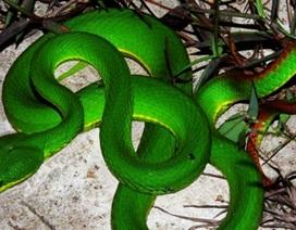 Dân hoang mang vì liên tục bị rắn lục đuôi đỏ tấn công