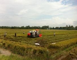 Trồng lúa thơm ở ĐBSCL: Nông dân nhận quả đắng!?