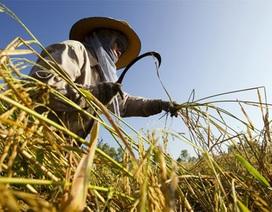 """Thái Lan """"thất bại thảm hại"""" với chính sách lúa gạo"""