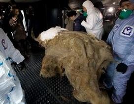 Trưng bày xác voi ma mút toàn vẹn nhất từ trước đến nay