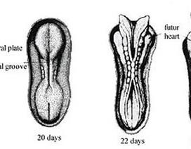 Dị tật ống thần kinh thai nhi và cách ngăn ngừa