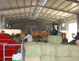 Nâng cao sản lượng và chất lượng sữa bằng TMR
