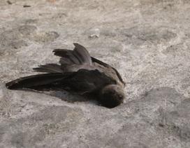 Ninh Thuận: Chim yến tiếp tục chết bất thường